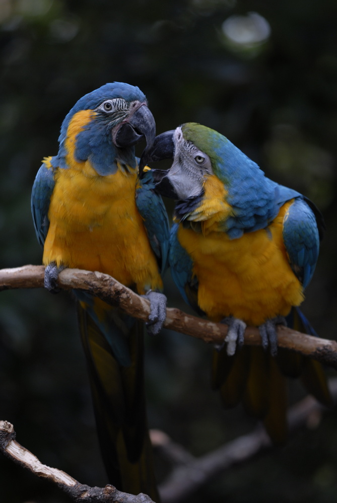 Blue & Gold Macaws by Stanley Westfall