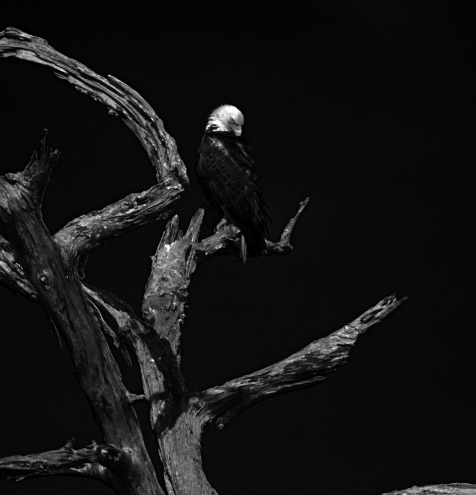 Eagle in Tree by Joey Hamner