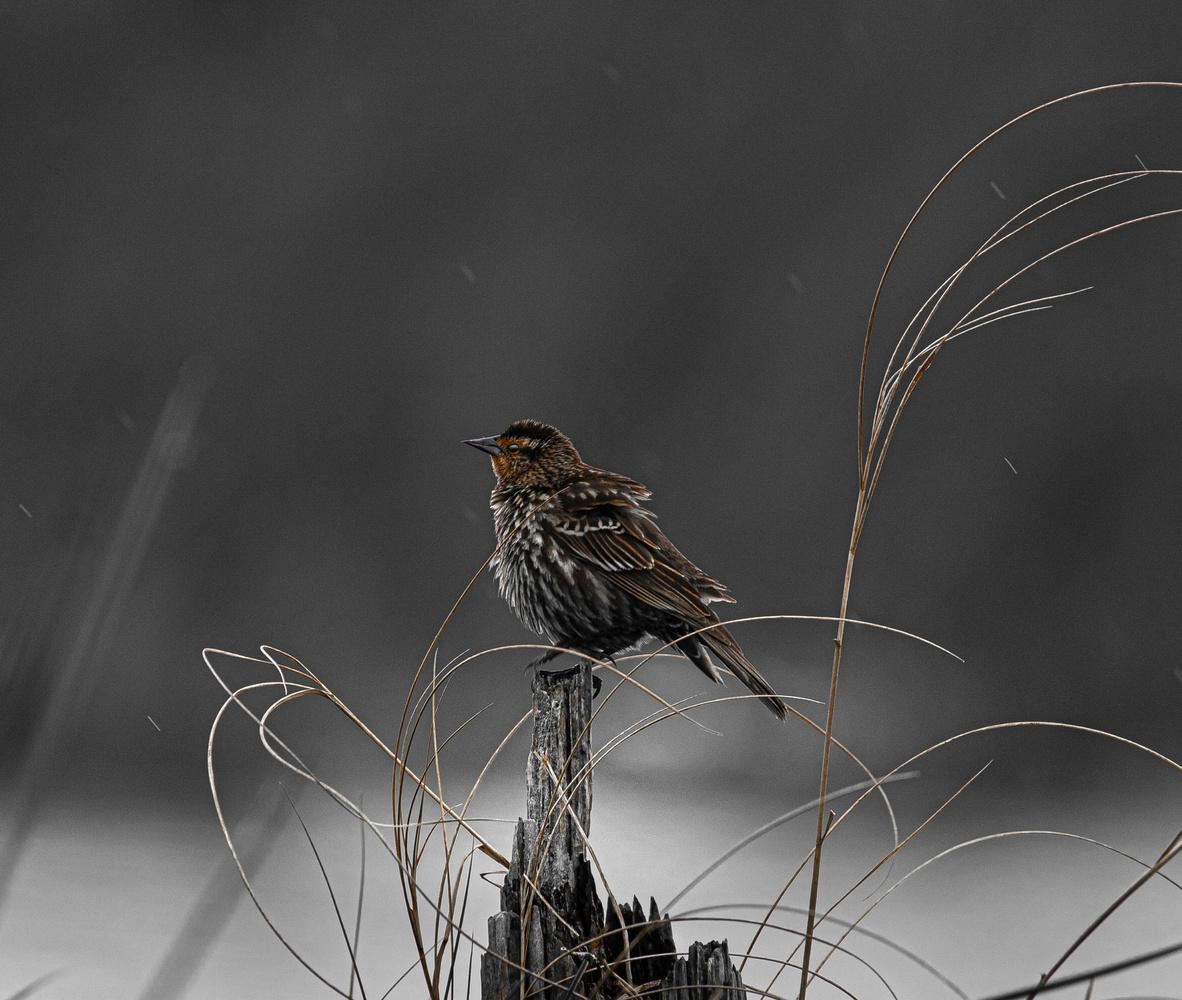 Female Red-winged Blackbird by Joey Hamner