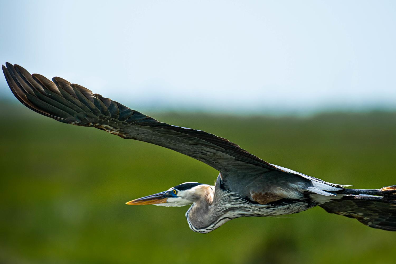 Great Blue Heron by Joey Hamner