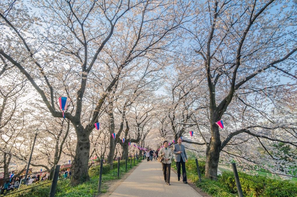 Stroll Beneath The Sakura by Leslie Taylor
