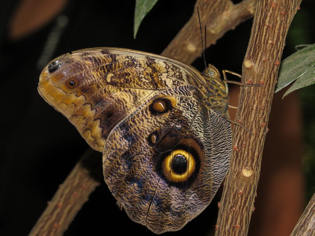 Buckeye Butterfly by Earl Moore