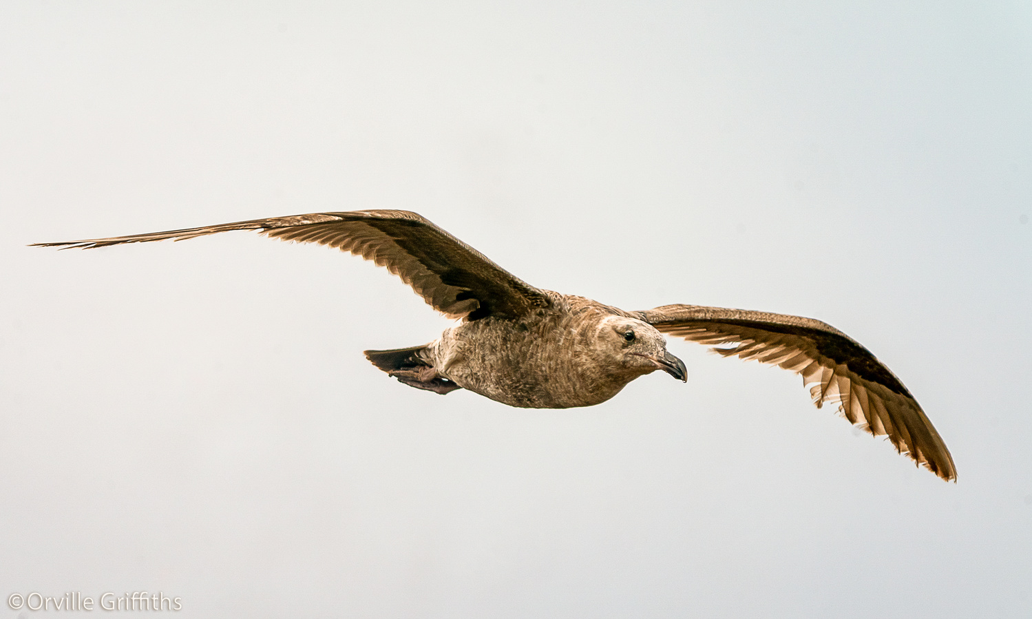 Soaring **SEAGULL** by Orville Griffiths