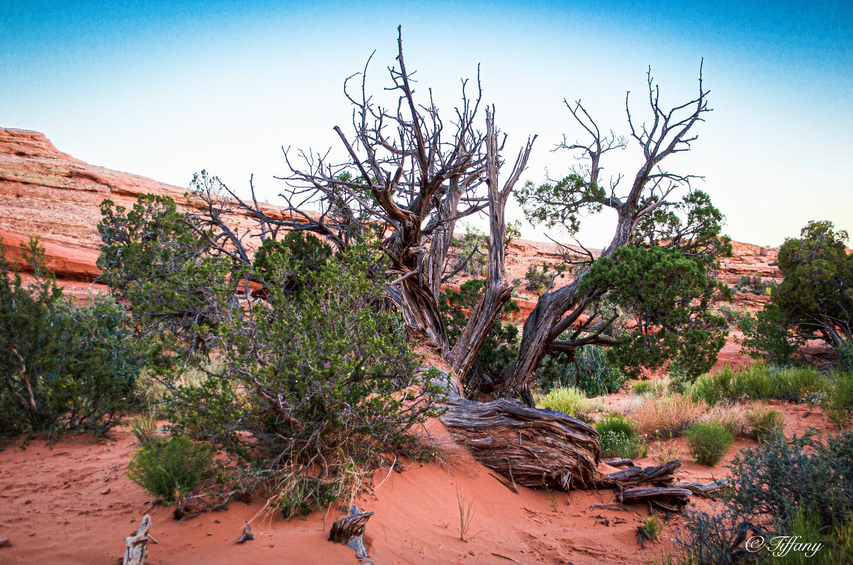 Desert Tree by Tiffany Carucci