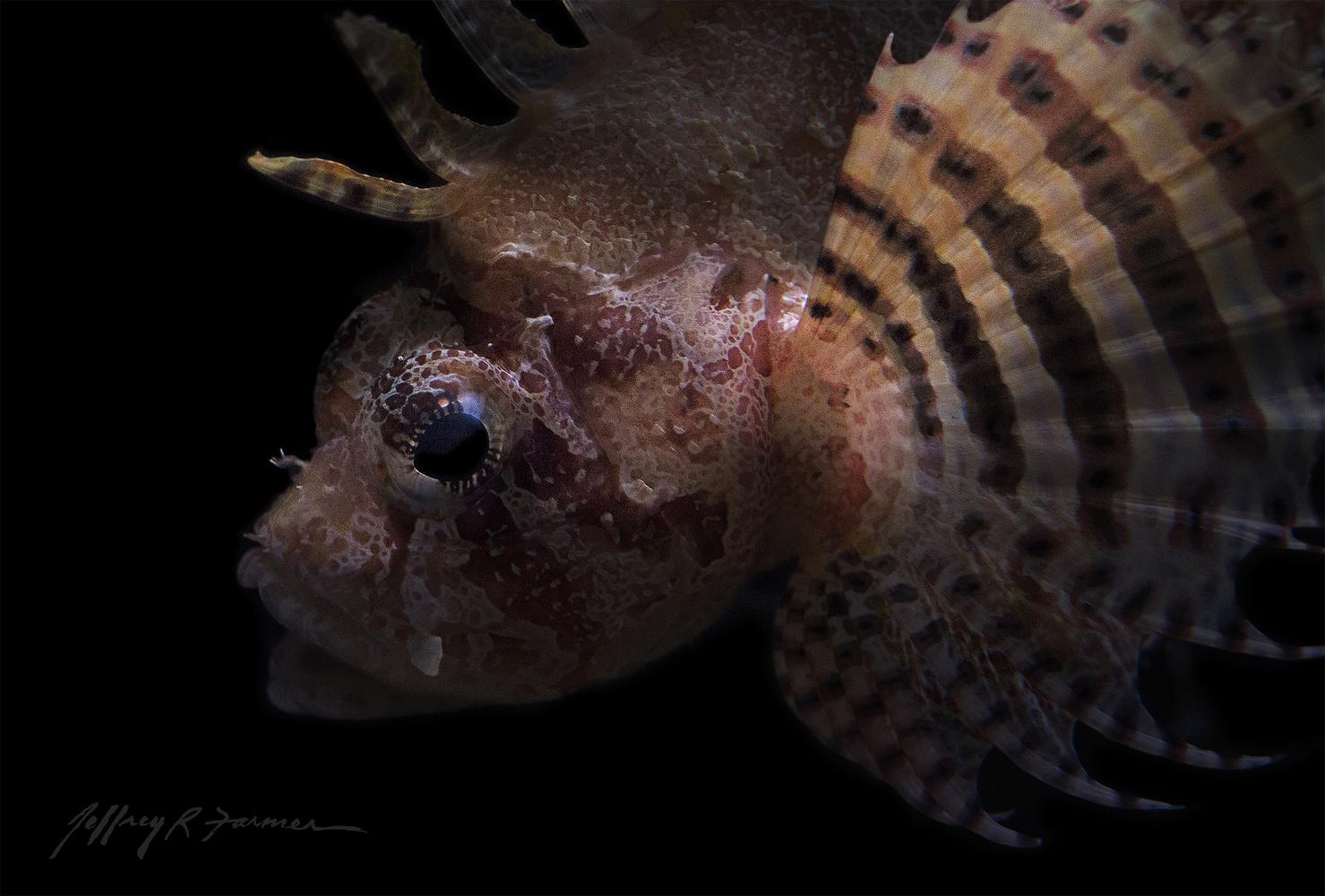 """""""Dwarf Lionfish"""" by Jeffrey R Farmer"""