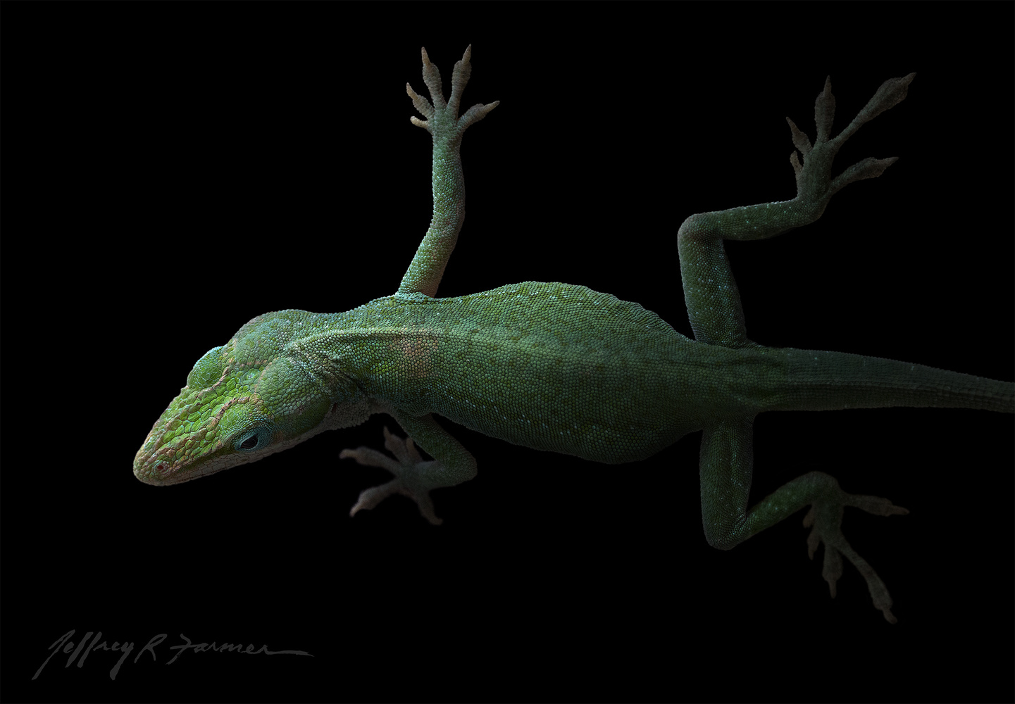 Anole Portrait by Jeffrey R Farmer