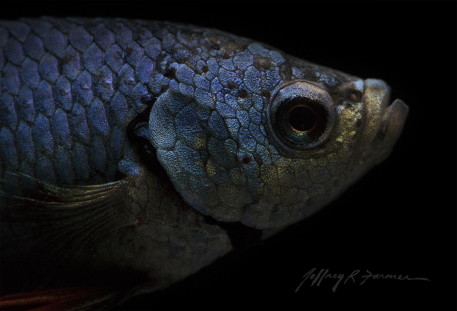 Betta Close-up by Jeffrey R Farmer