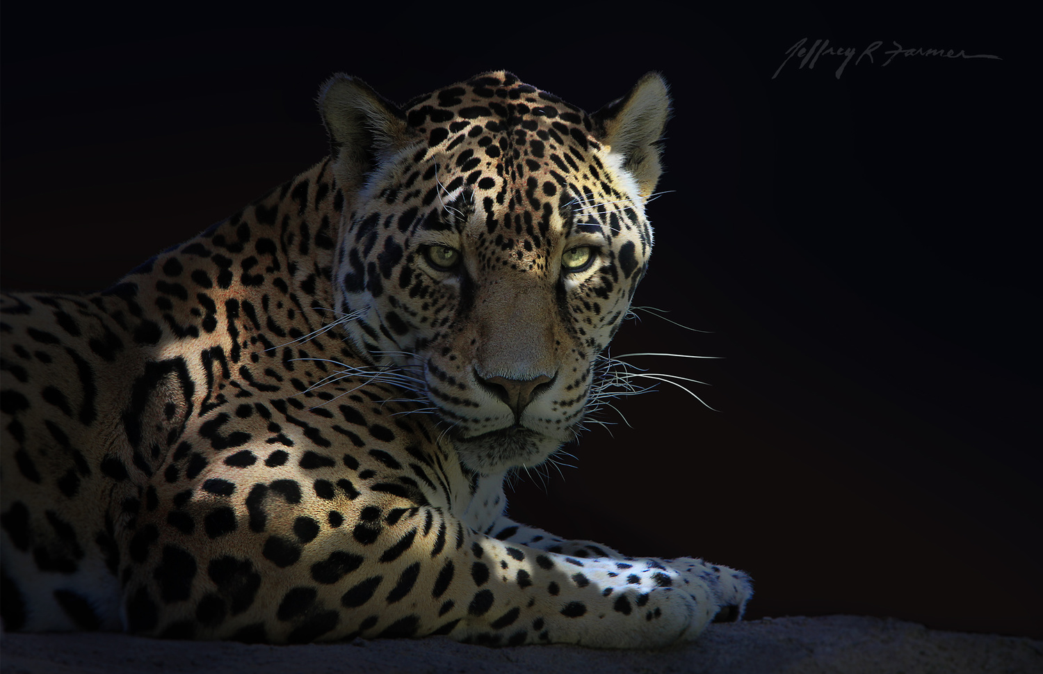 """Jaguar Portrait"" by Jeffrey R Farmer"