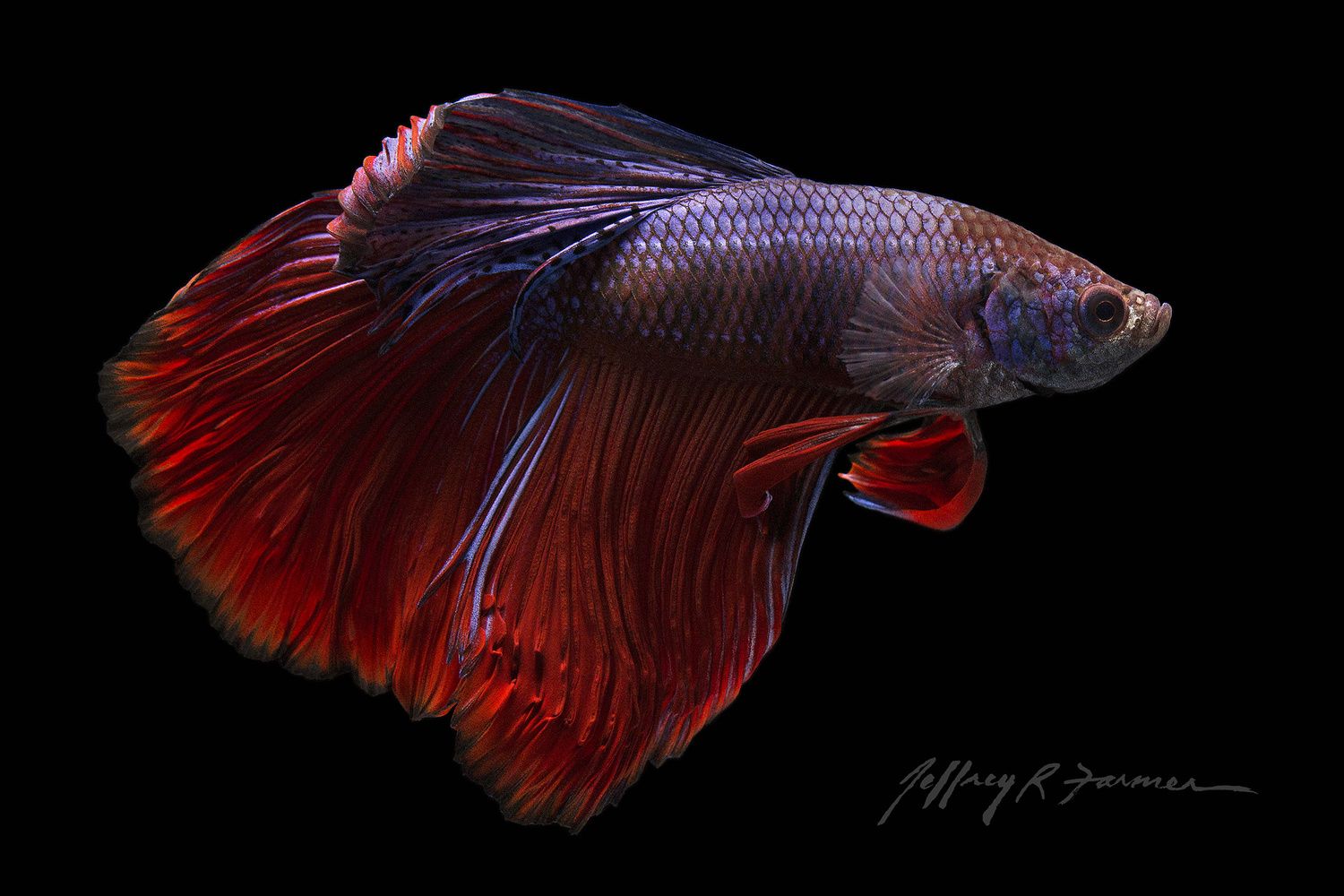 Betta Beauty by Jeffrey R Farmer