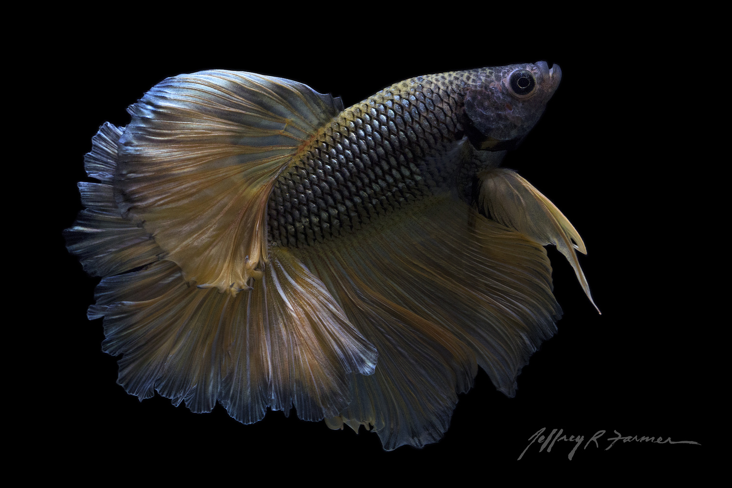 """Sheer Beauty II""  Betta Portrait by Jeffrey R Farmer"
