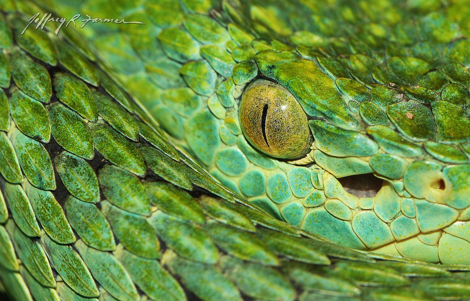 Pit Viper by Jeffrey R Farmer