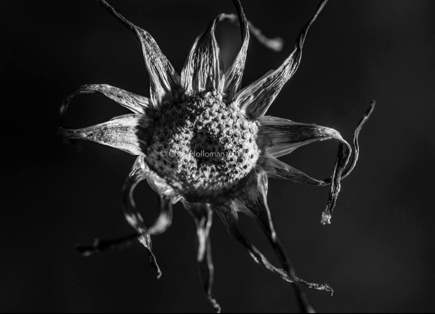 Dandelion's Last Day by Chris Holloman