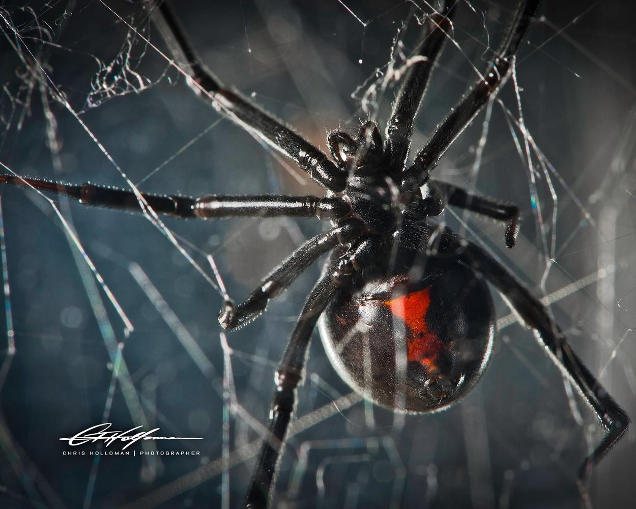 Black Widow by Chris Holloman