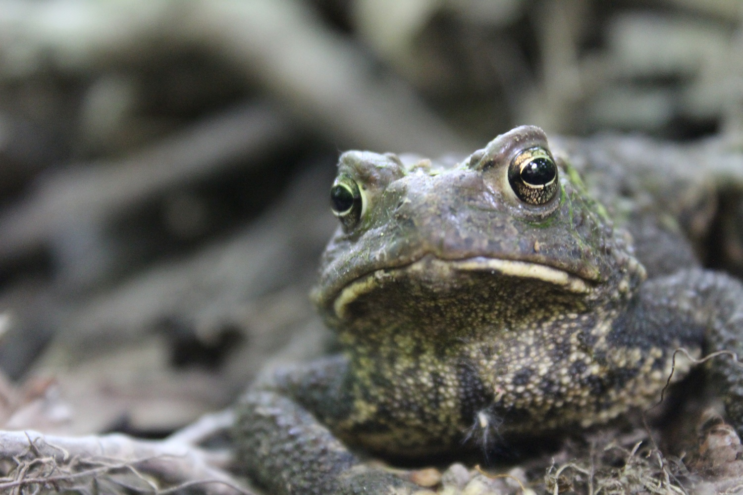 Tranquil Toad by Sally Marella