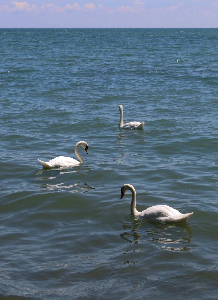 Swans by Natalia Sadowski