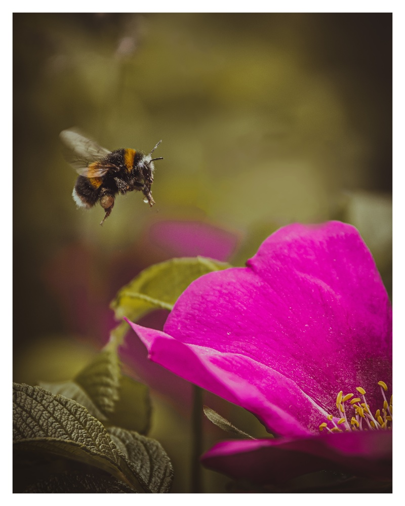Bumblebee at work by Dave Mckinlay