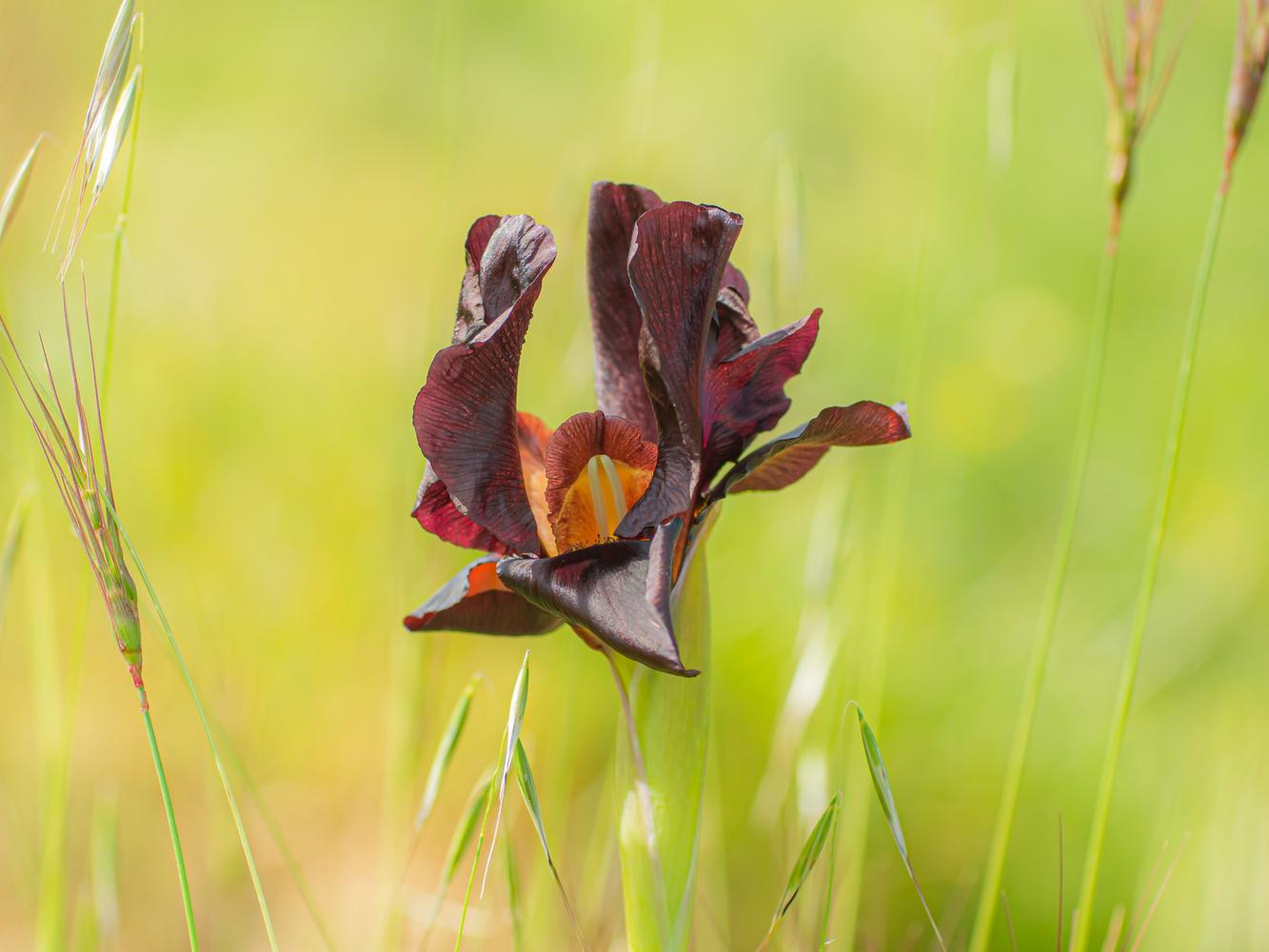 The crimson iris by Gotcha Biniashvili