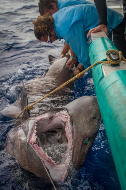 Bluntnose Sixgill Shark by Brendan James