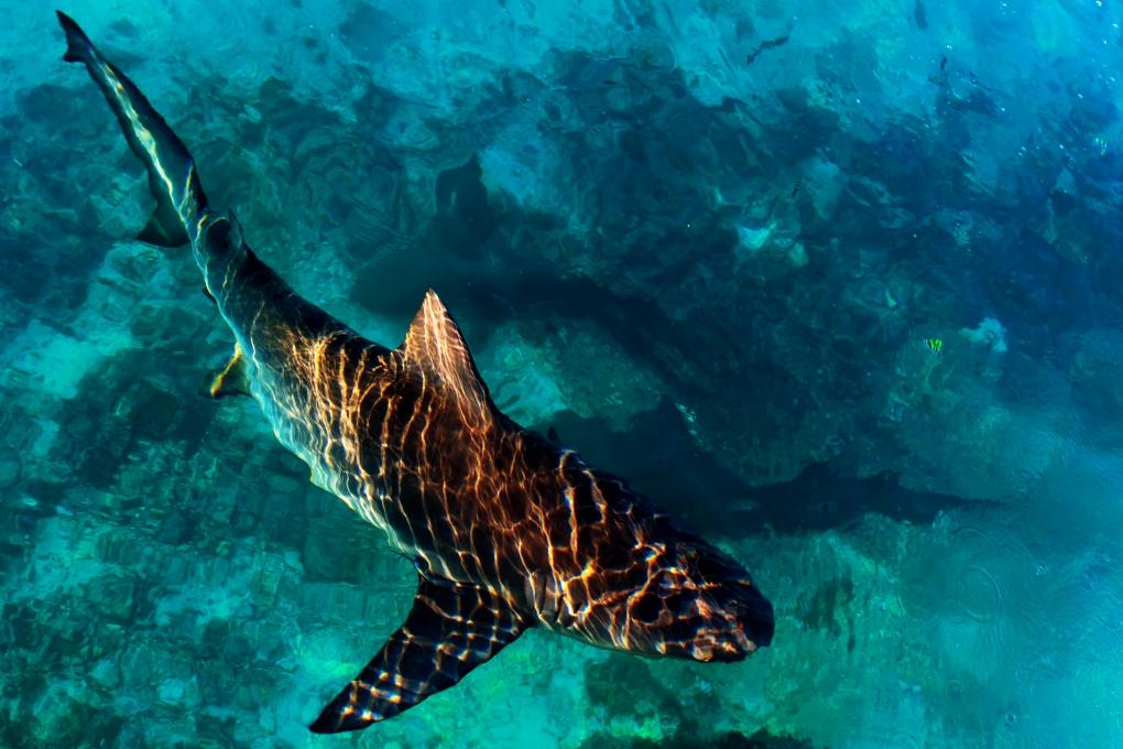 Bull Shark by Brendan James