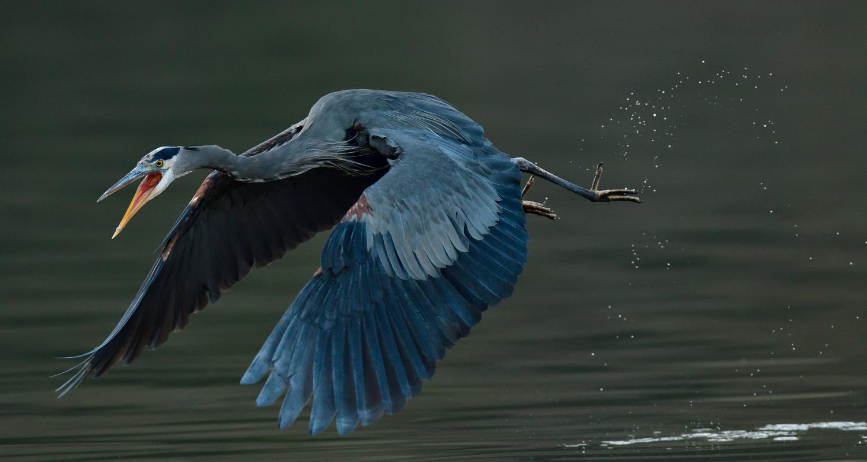 Great Blue Heron in Flight by Kenneth Wong