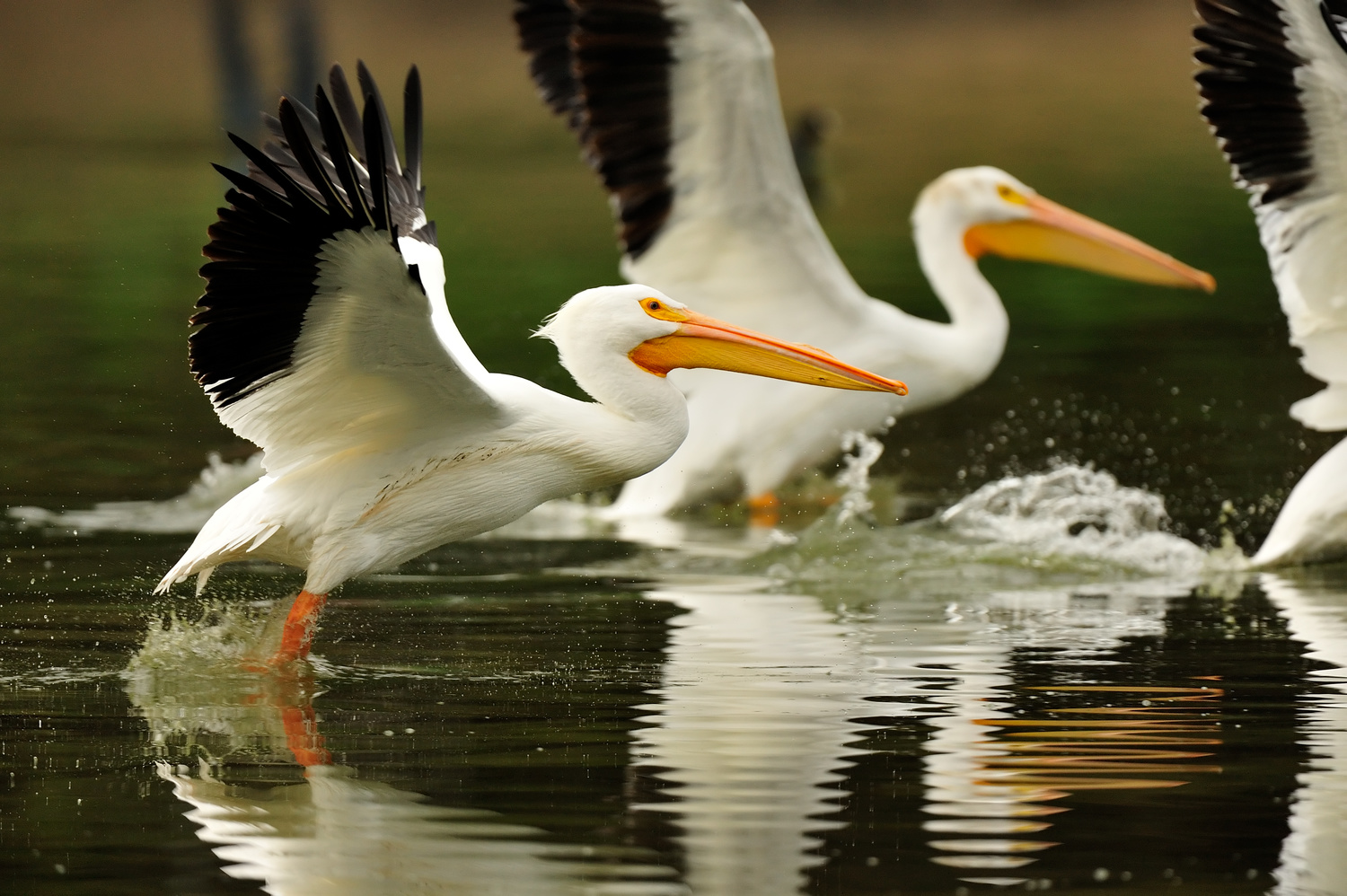 Pelican Flock Takeoff by Kenneth Wong