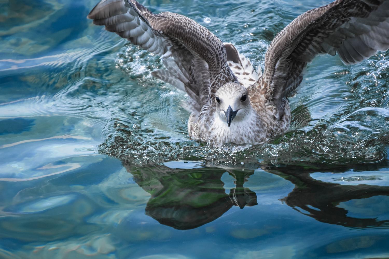 Seagull on water by Monika Labosova
