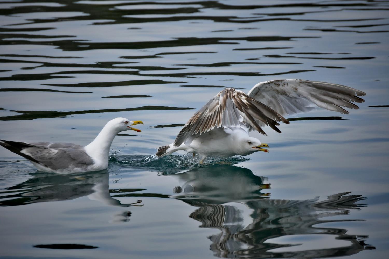 seagull quarrel by Monika Labosova