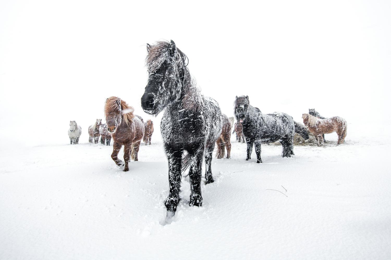 Horses in a snowstorm by Einar Gudmann