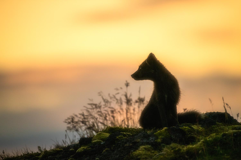 Sunset portrait of a arctic fox by Einar Gudmann