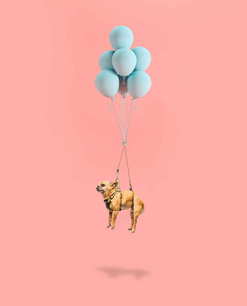 Balloon Dog, chihuahua  by Ian Pettigrew