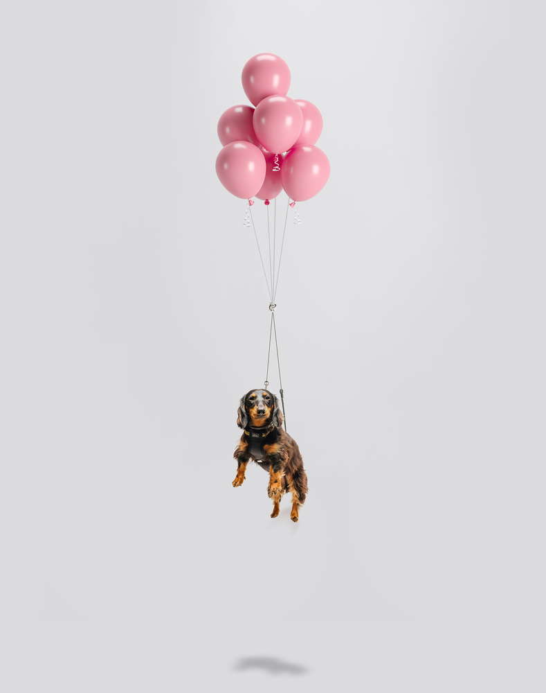 Balloon Dog, 03 by Ian Pettigrew