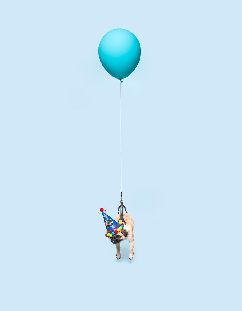 Pug by Ian Pettigrew