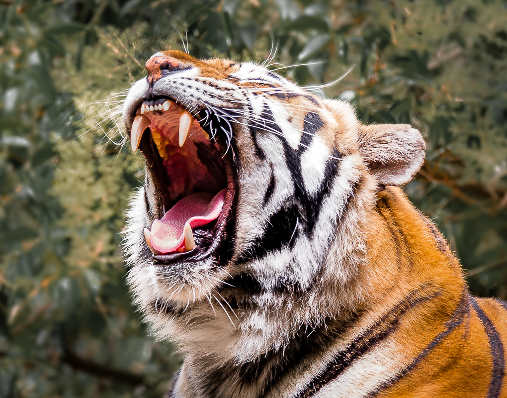 Tiger - one of four sisters by Steven Gotz