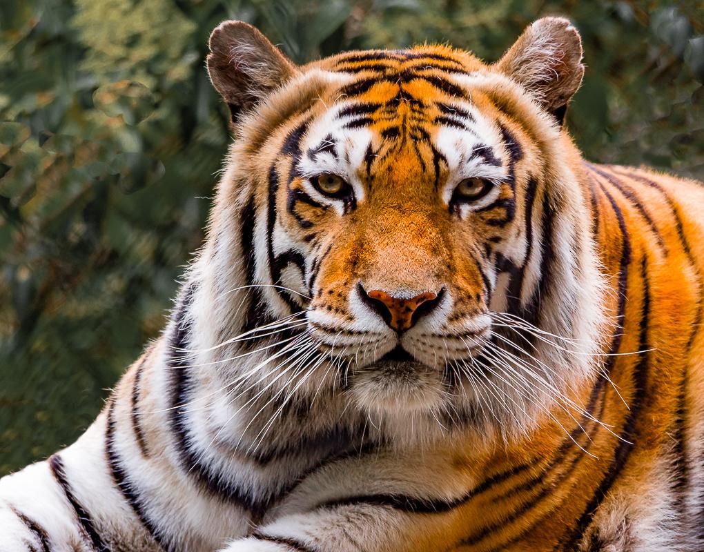Tiger full face by Steven Gotz