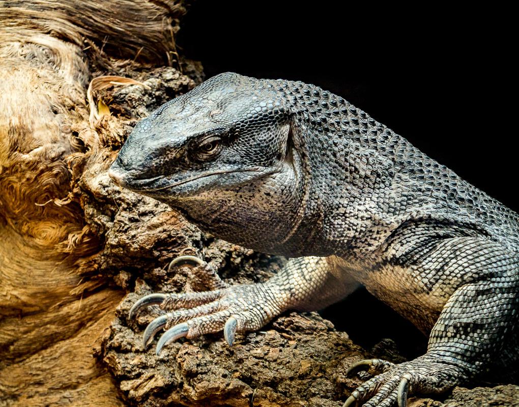 Black Throated Monitor Lizard by Steven Gotz