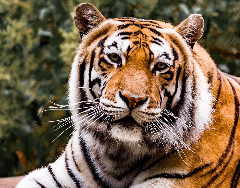Tiger with head tilt by Steven Gotz