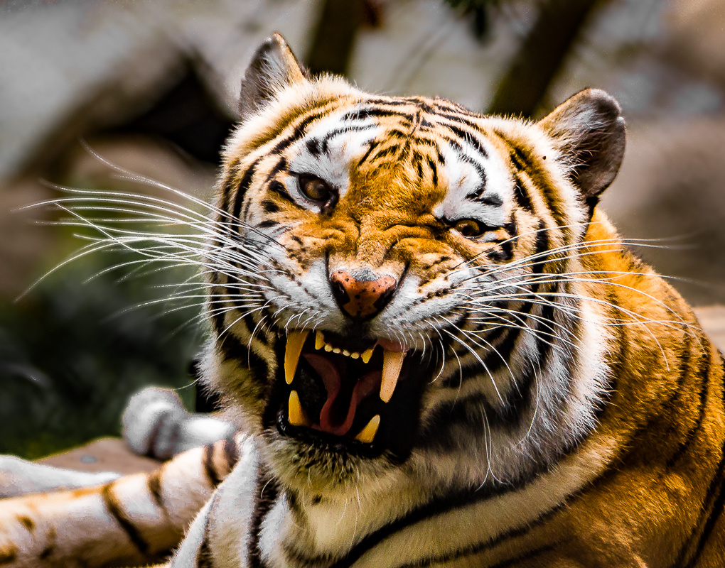 Tiger showing teeth by Steven Gotz