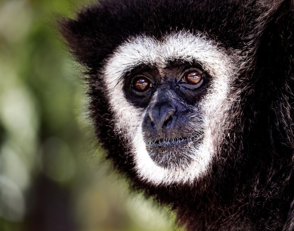 White Handed Gibbon by Steven Gotz