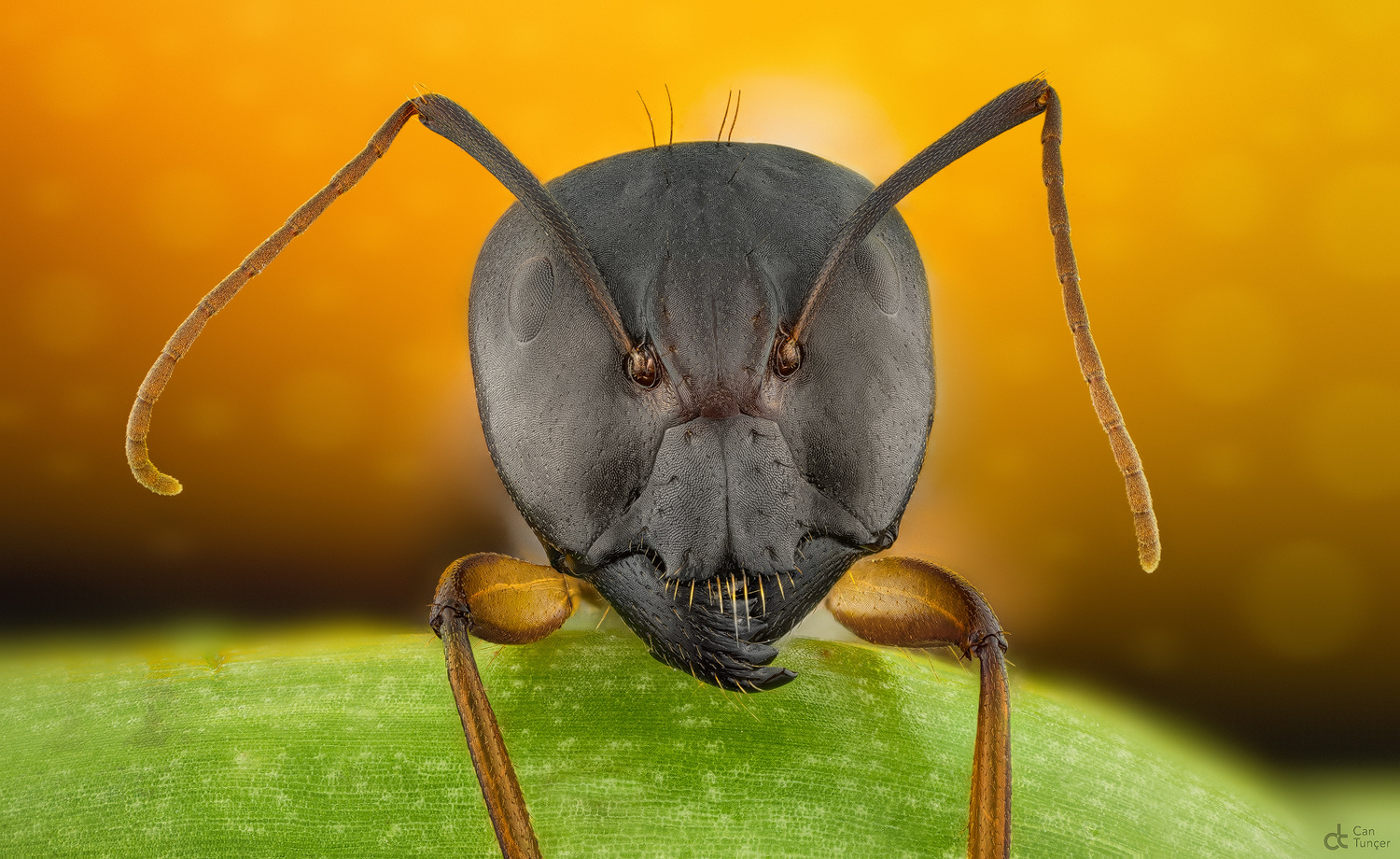 Ant Portrait by Can Tunçer