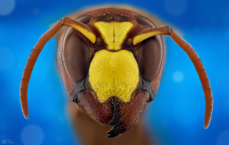 Hornet by Can Tunçer