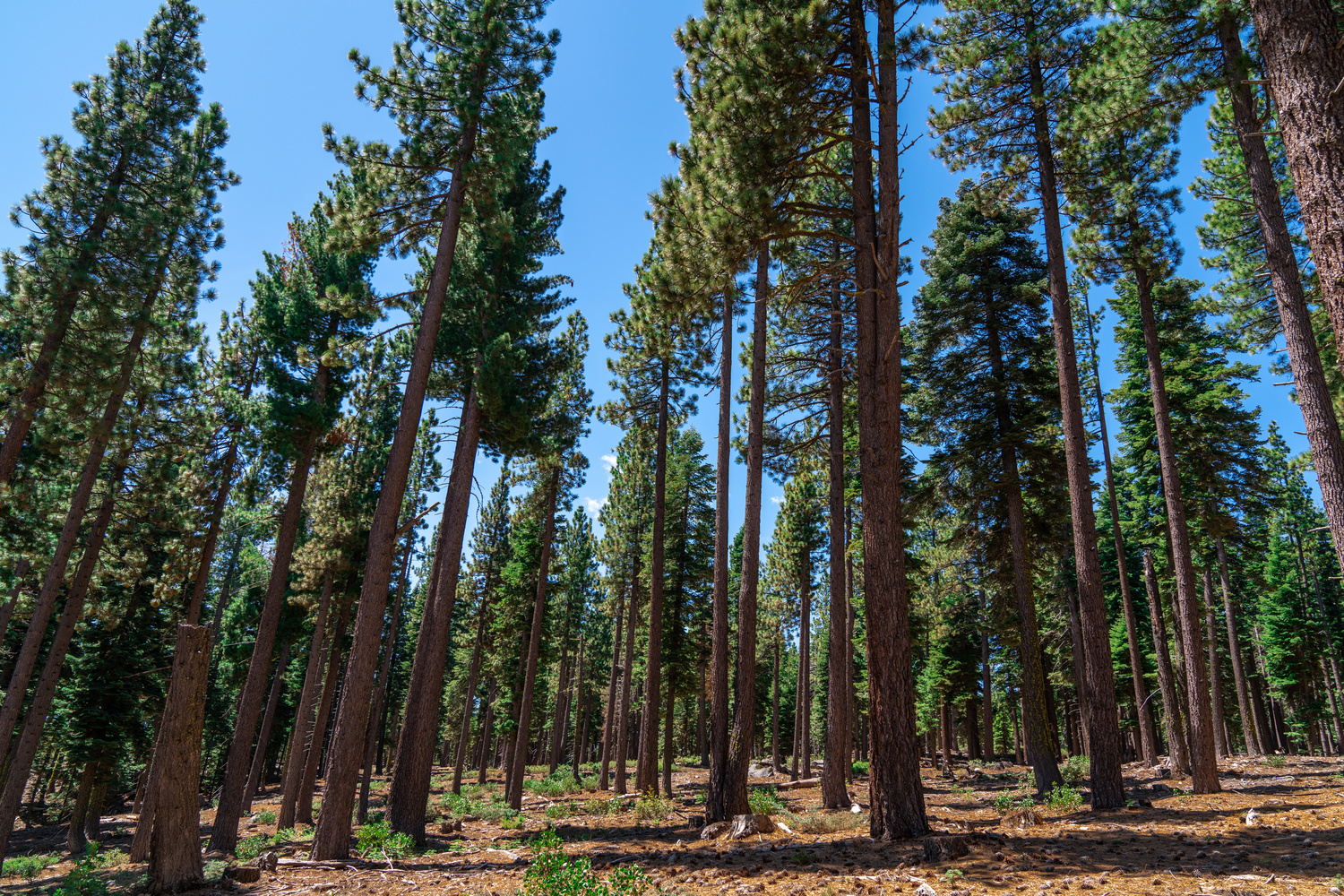 Pine Forest by Robert Parker