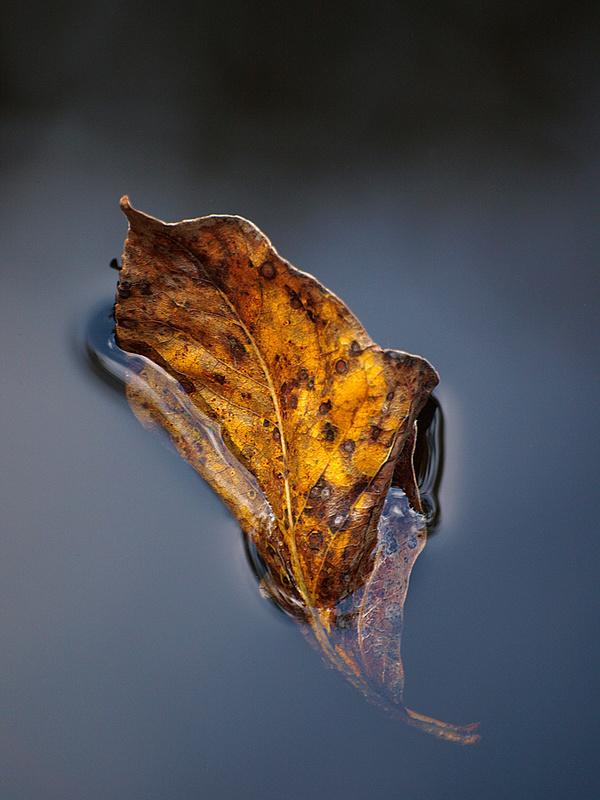 Leaf in water by michael wollen