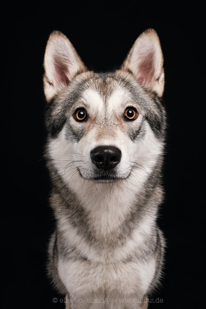 Wolamute by Elke Vogelsang