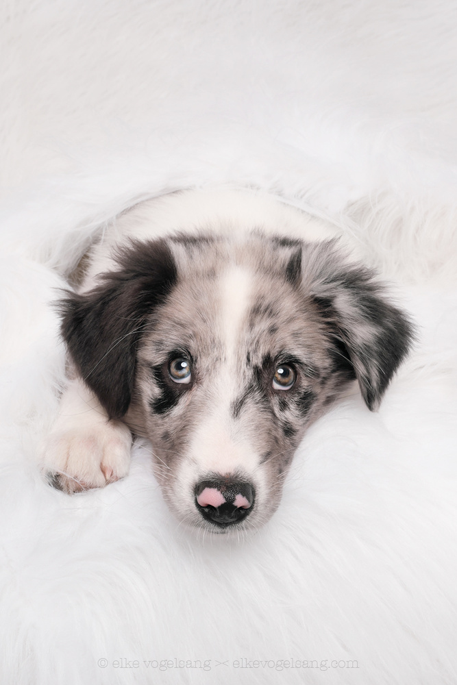 Aussie puppy Skye by Elke Vogelsang