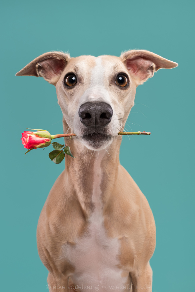 The knight of the roses by Elke Vogelsang