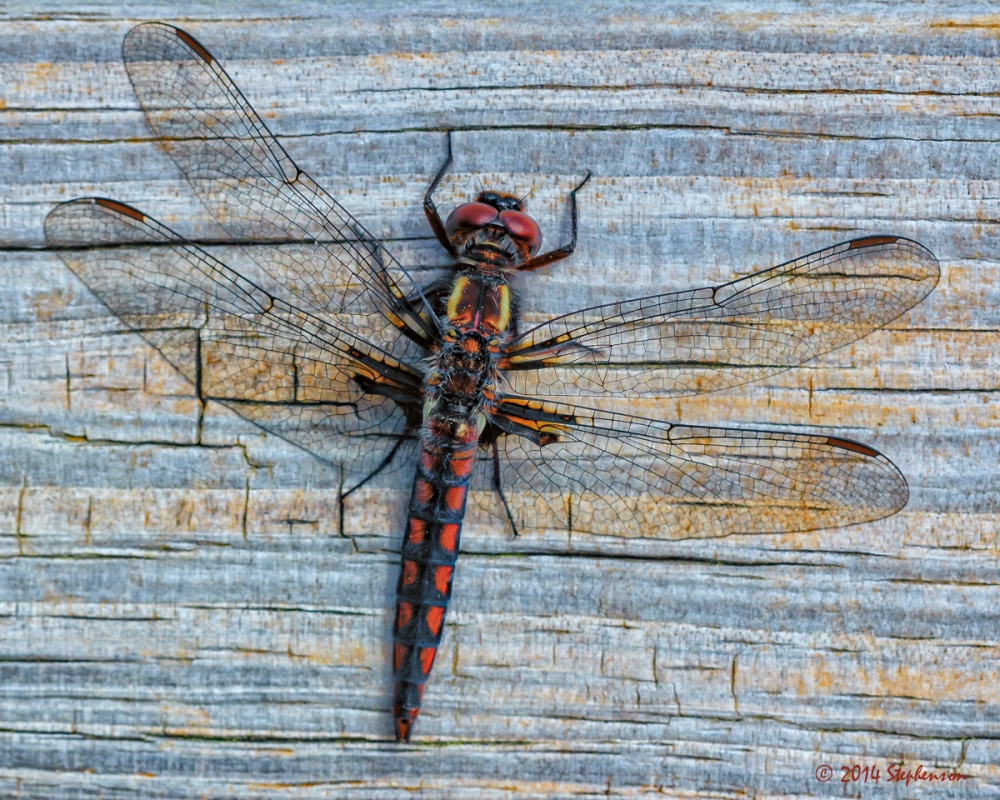 Red Dragonfly by Steve Stephenson