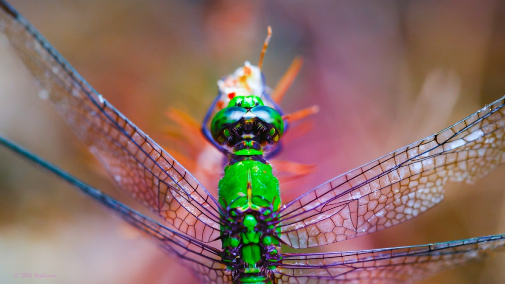 Dreamy Green Dragonfly by Steve Stephenson