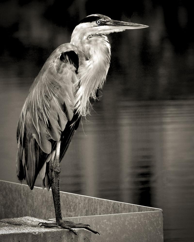 Handsome Heron by J Sclafani