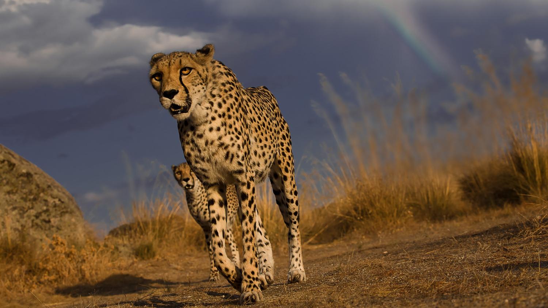 Cheetahs and Rainbow by Carlos Santero