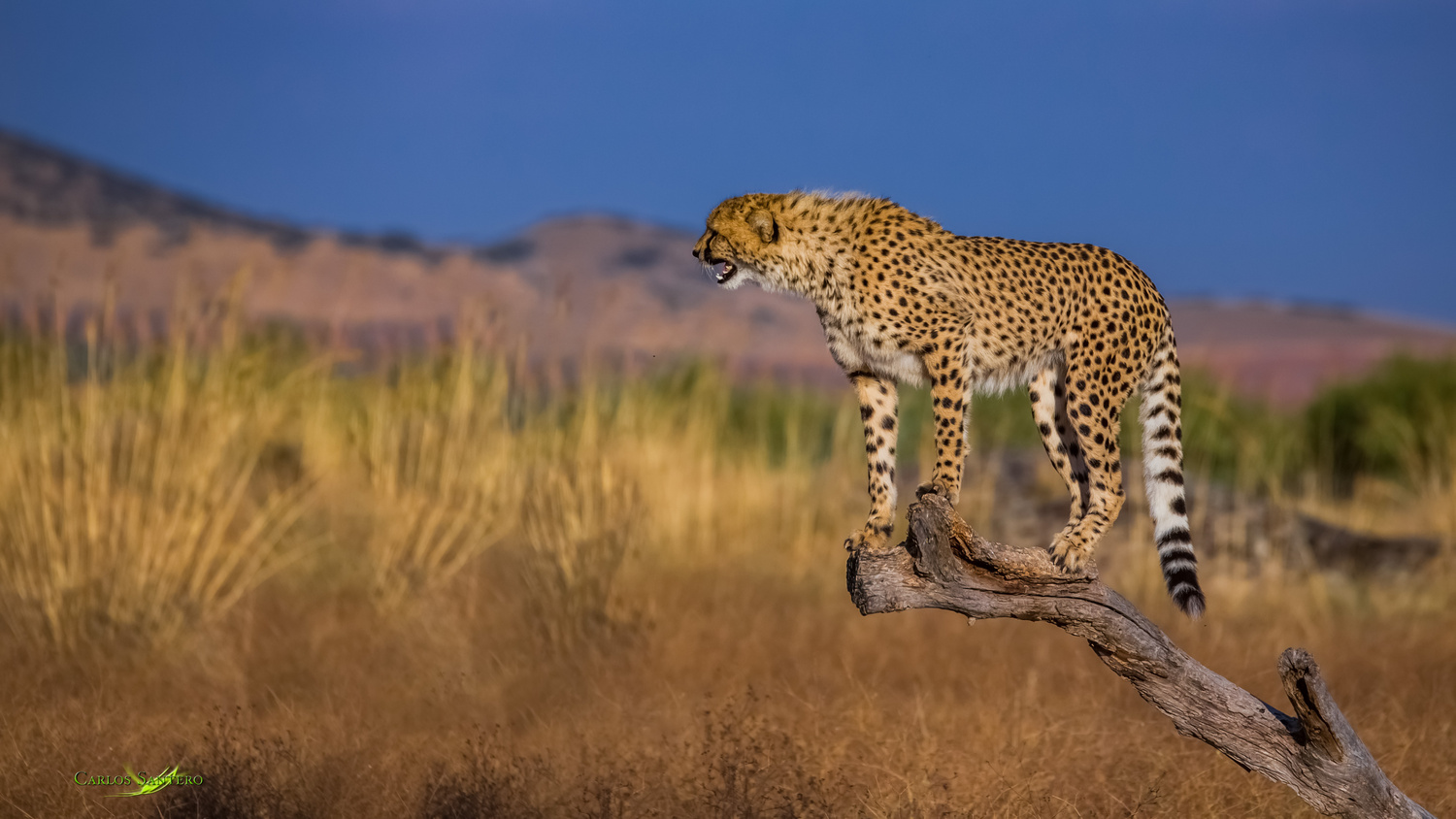 Cheetahs Viewpoint by Carlos Santero